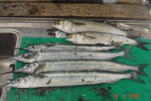 A feed of good size Garfish at Arno Bay.