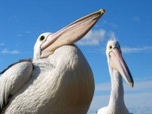 Pelicans on the beach at Arno Bay Caravan Park